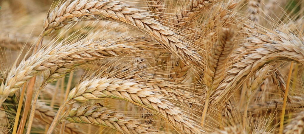 close-up-of-wheat-326082(1)